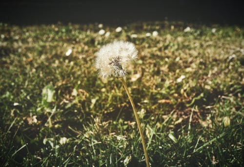 Free stock photo of dandelion, dandelion seeds, garden, grass