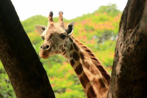 Free stock photo of animal, giraffe, photography