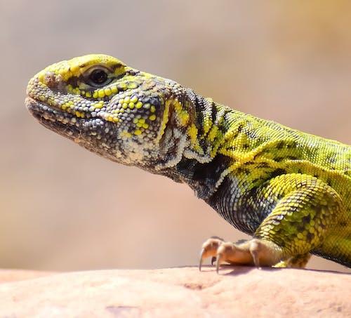 Close-Up Photo of a Collared Lizard