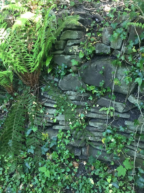 Free stock photo of ferns, ivy, mother nature