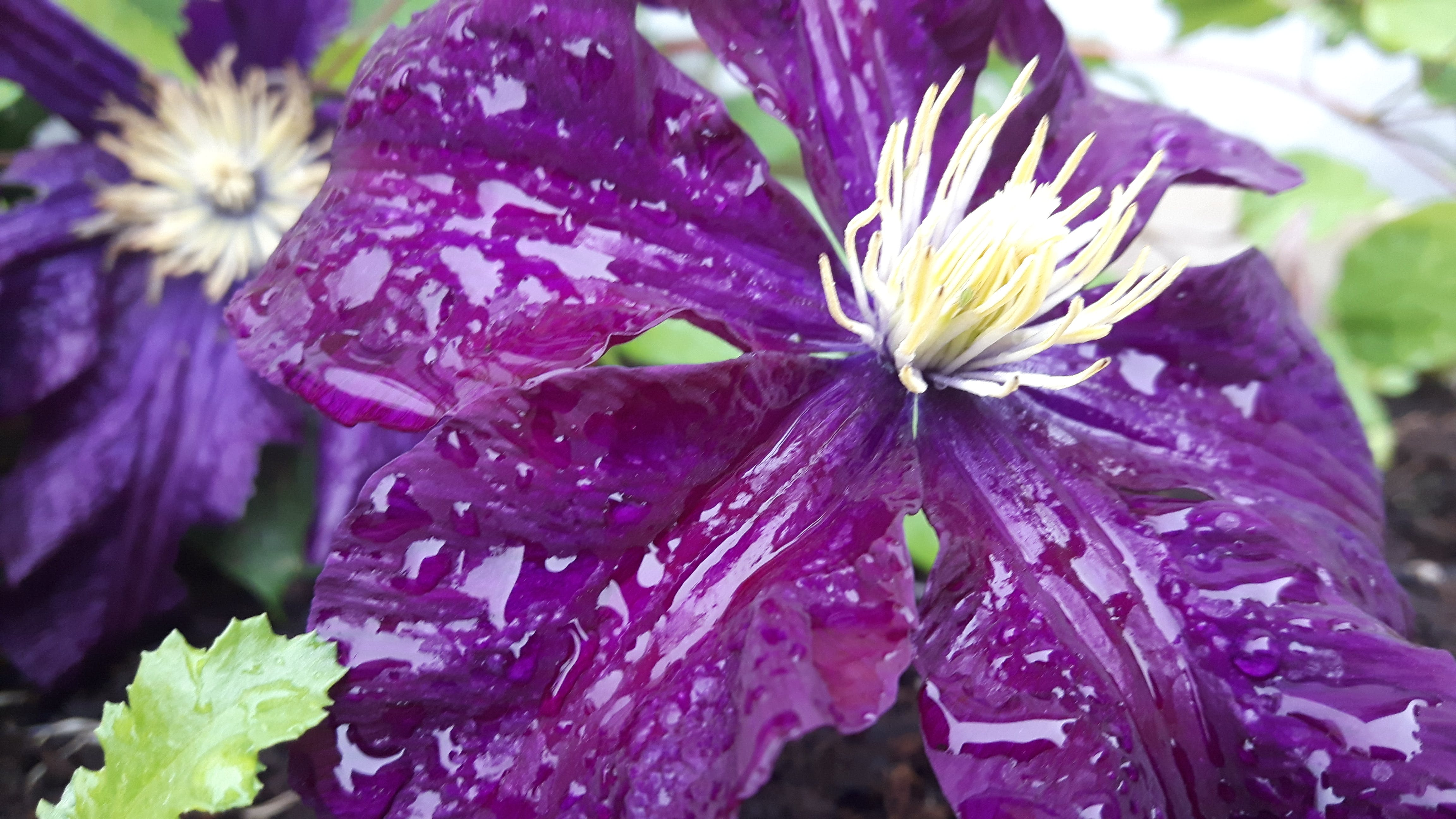 Free stock photo of purple, colorful, clematis, potplant