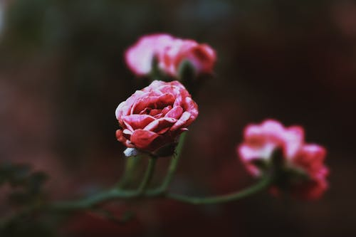 Shallow Focus Photo of a Blooming Pink Flowers