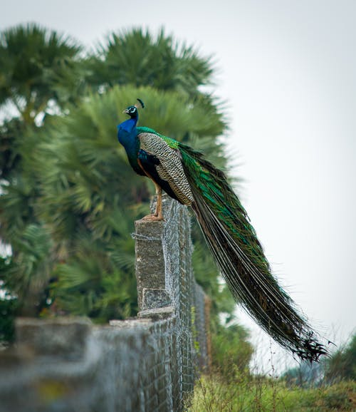 Graceful peacock on stone fence