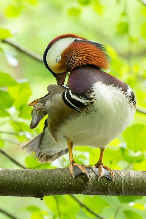 Photos gratuites de animal, aviaire, branche d'arbre, canard