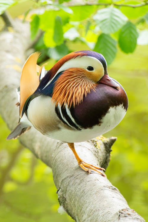 Photo of Mandarin Duck Perched on Tree Branch