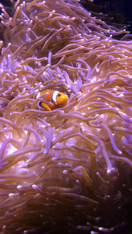 Clown Fish on Green Coral Reef