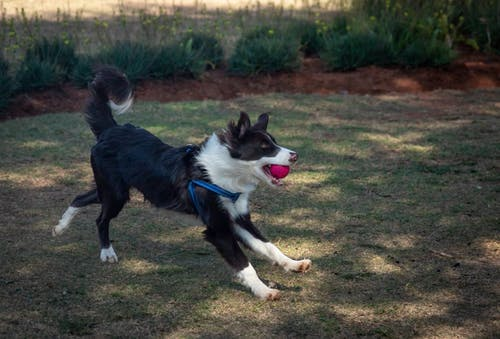 A Cute and Clever Border Collie Running on Green Grass