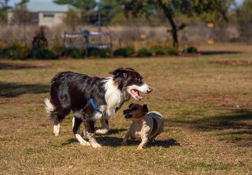 A Cute Border Collie and Puppy Running on Green Grass