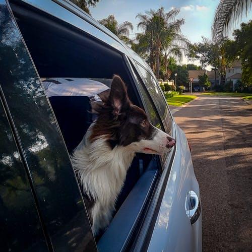 White and Black Border Collie on Car Door