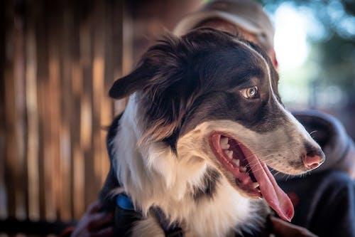 Kostnadsfri bild av border collie, djurporträtt, duktig, hårig