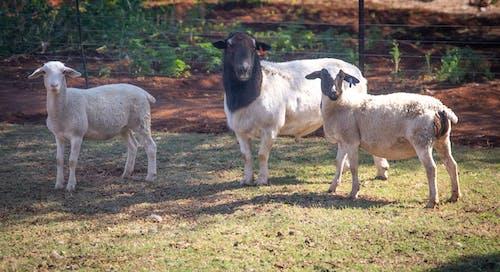 Kostnadsfri bild av bondgård, bondgårdsdjur, får, hårig