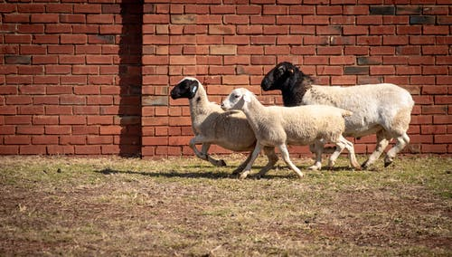 Herd of Sheep on Green Grass Field Against Brick Background