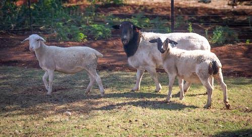 Foto stok gratis agrikultura, bayi domba, berbulu, bermain