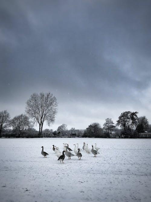 Flock of Geese on Water