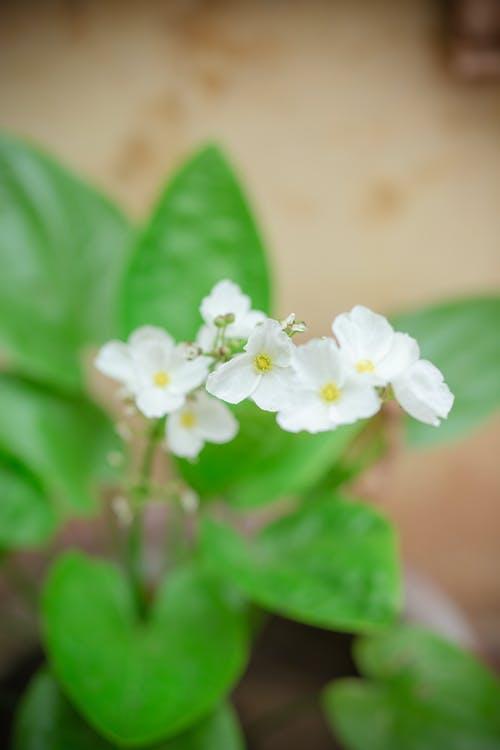 報春花, 增長, 夏天, 夏季 的 免費圖庫相片
