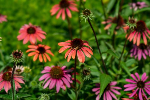 Free stock photo of beautiful flower, bee, colorful, coneflower