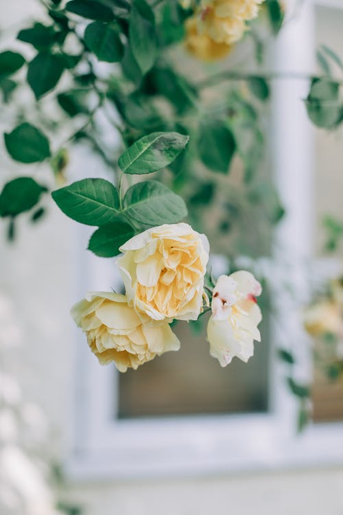 White Roses in Tilt Shift Lens
