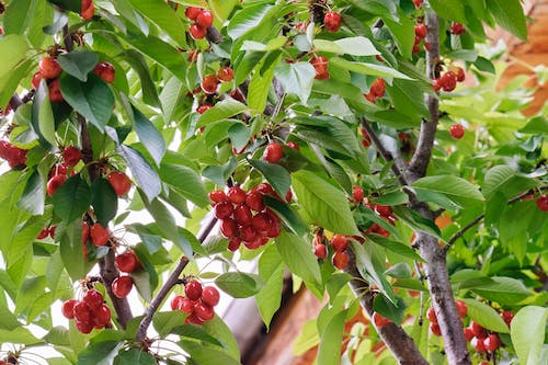 Free stock photo of cherries, fruits, spring, tree branches