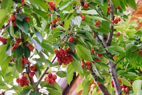 Бесплатное стоковое фото с весна, ветви деревьев, веточки, вишни