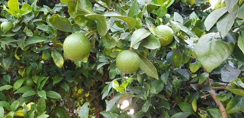 Free stock photo of fruit, fruit tree, green, lime tree