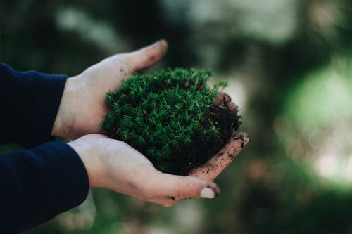 Green moss in hands of anonymous person
