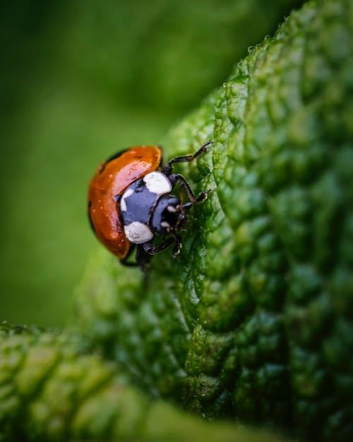 Free stock photo of ladybug, macro photography