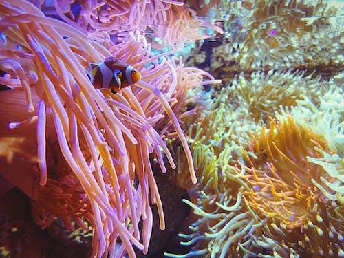 alt, anemon, balık, balıklar içeren Ücretsiz stok fotoğraf