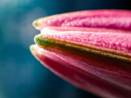 Free stock photo of close up, flower, lily, macro