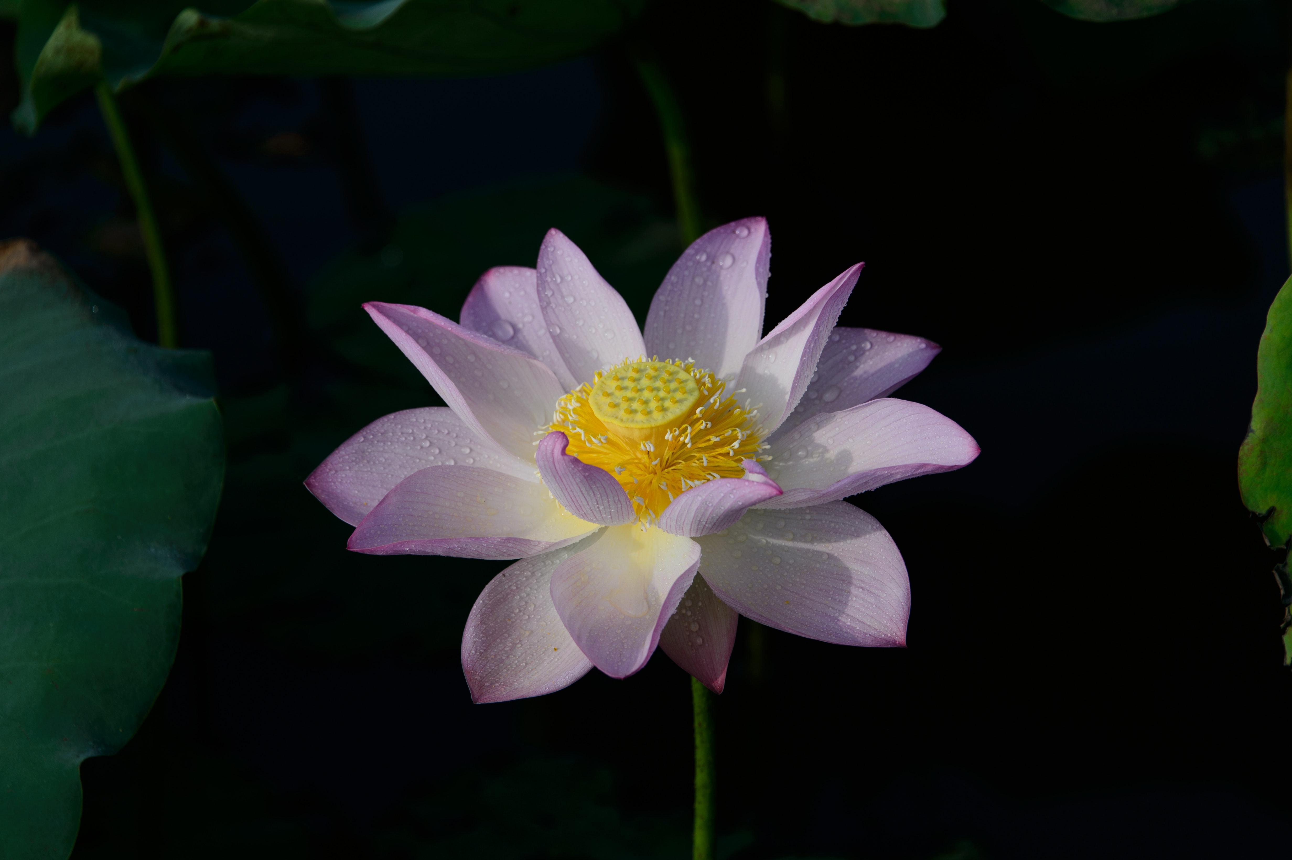 Free stock photo of beautiful flowers china chinese free download izmirmasajfo