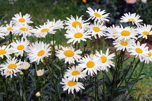 Бесплатное стоковое фото с белые маргаритки, весна, маргаритки, природа