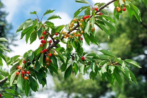 Základová fotografie zdarma na téma ovoce, třešně, větev stromu, zelené listy