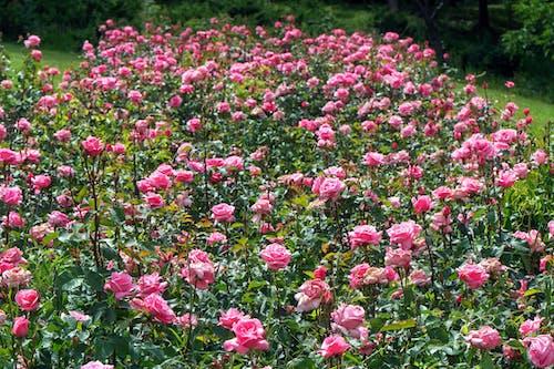 Бесплатное стоковое фото с зеленые листья, розовые розы, сад, склон