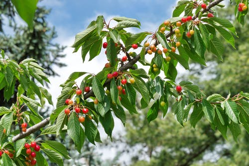 Free stock photo of cherries, fruits, green leaves, tree branch