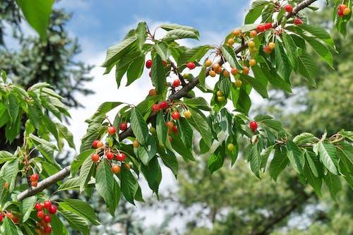 Бесплатное стоковое фото с ветвь дерева, вишни, зеленые листья, фрукты