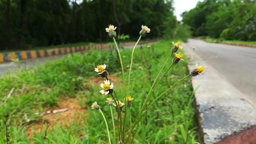 Foto stok gratis bunga, bunga matahari, bunga putih