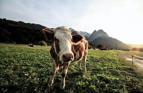 가축, 경치, 농장, 농지의 무료 스톡 사진