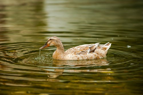 Duck drinking water from river while swimming