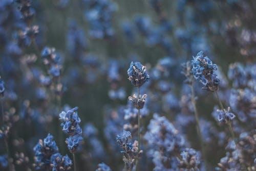 Tilt Shift Lens Photography of Lavender Flowers