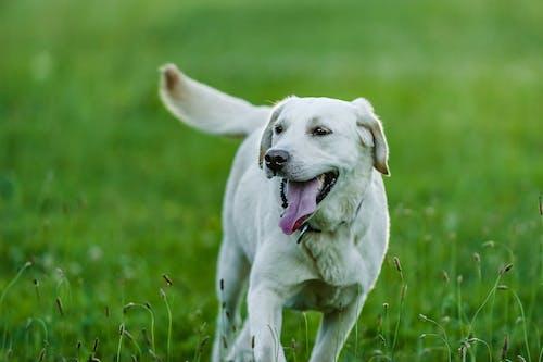 Happy Labrador Retriever running on grass lawn