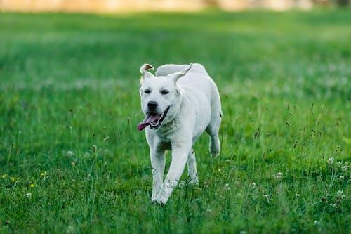 Fast purebred dog running in grass field