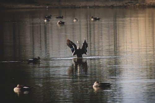 Základová fotografie zdarma na téma divoké kachny, fotografie, fotografie přírody, koupací kachničky