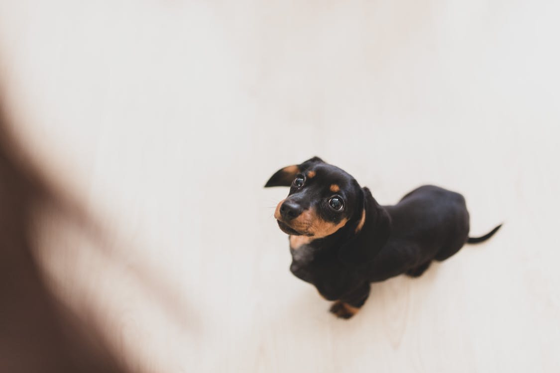 From above adorable black smooth haired Dachshund dog sitting on white floor and looking up with interest