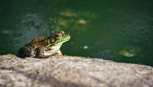 Foto d'estoc gratuïta de a l'aire lliure, aigua, amfibi, animal