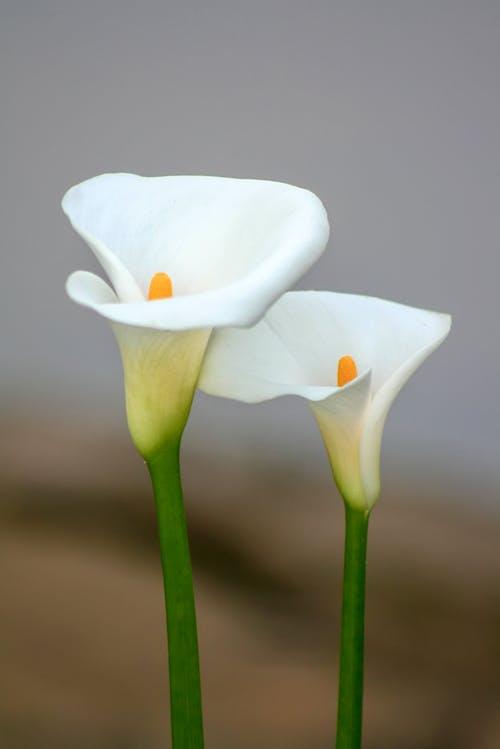 Ingyenes stockfotó Brazília, tej virág, virág témában