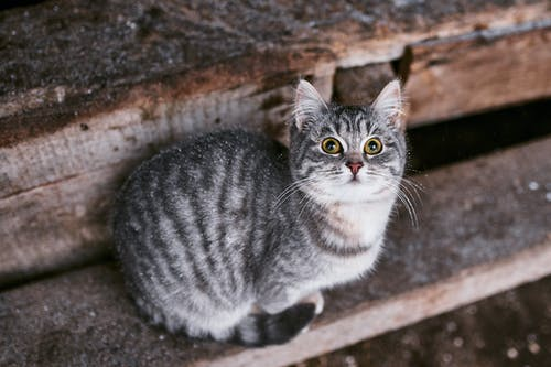Silver Tabby Cat on Brown Concrete Floor