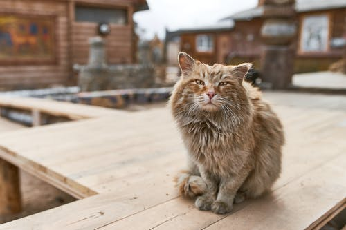 Brown Long Fur Cat on Brown Wooden Floor