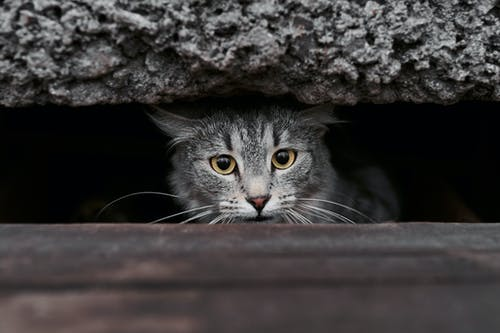 Silver Tabby Cat on Brown Wooden Surface