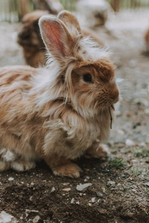 High angle of adorable fluffy Lionhead rabbit sitting on ground in countryside in daytime
