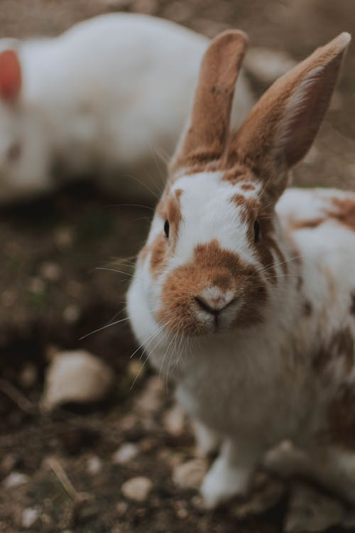 High angle of cute fluffy spotted rex rabbit sitting on ground in farmyard and looking at camera