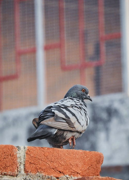 Back view of common pigeon sitting on brick border on street and observing territory